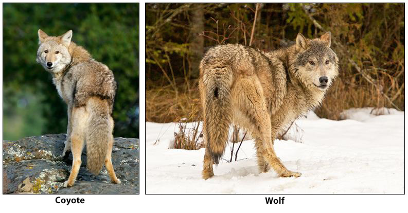 coyote vs wolf - Image By Wildlife