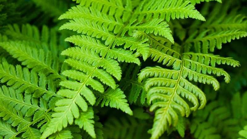 Fern plants - Image By britannica