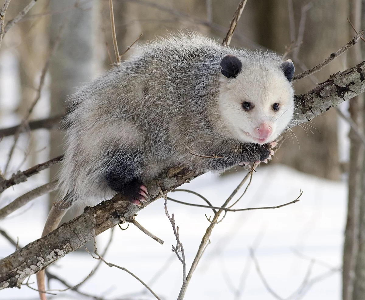Getting Rid Of Possums Naturally - Image By Wikipedia
