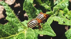 How To Get Rid Of Potato Bugs Naturally