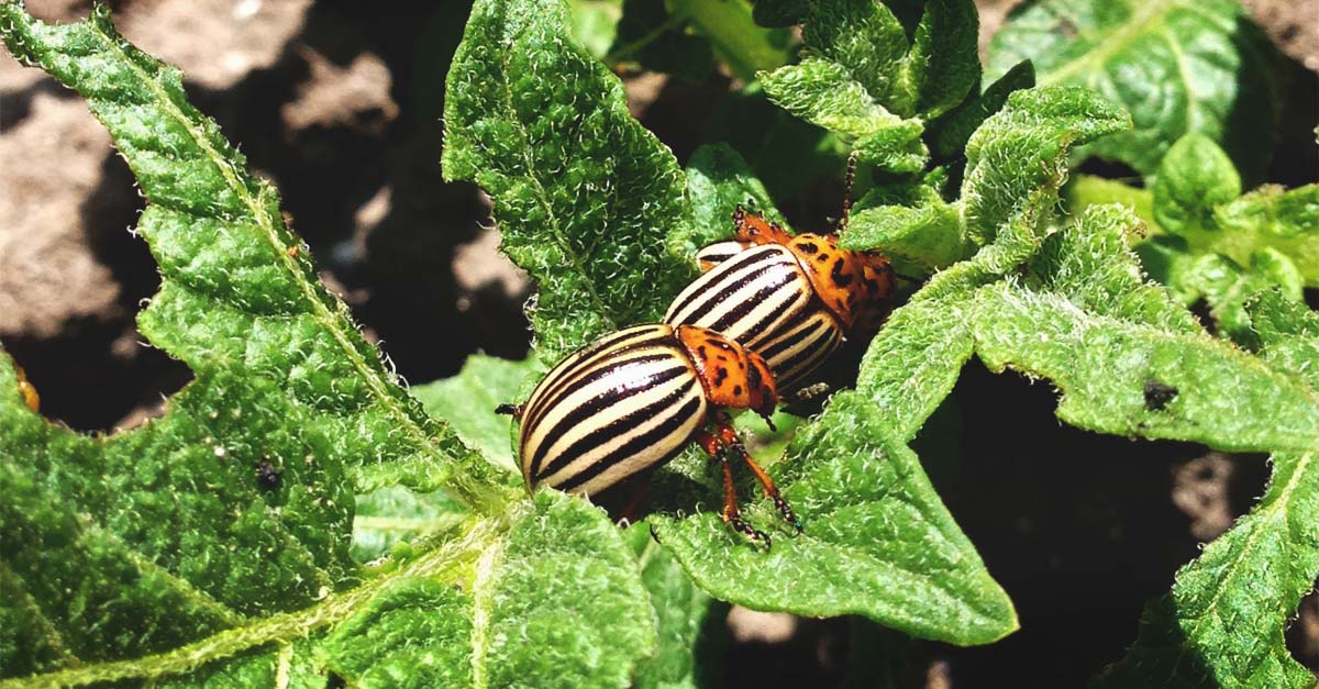 how to get rid of potato bugs naturally - Image By morningchores