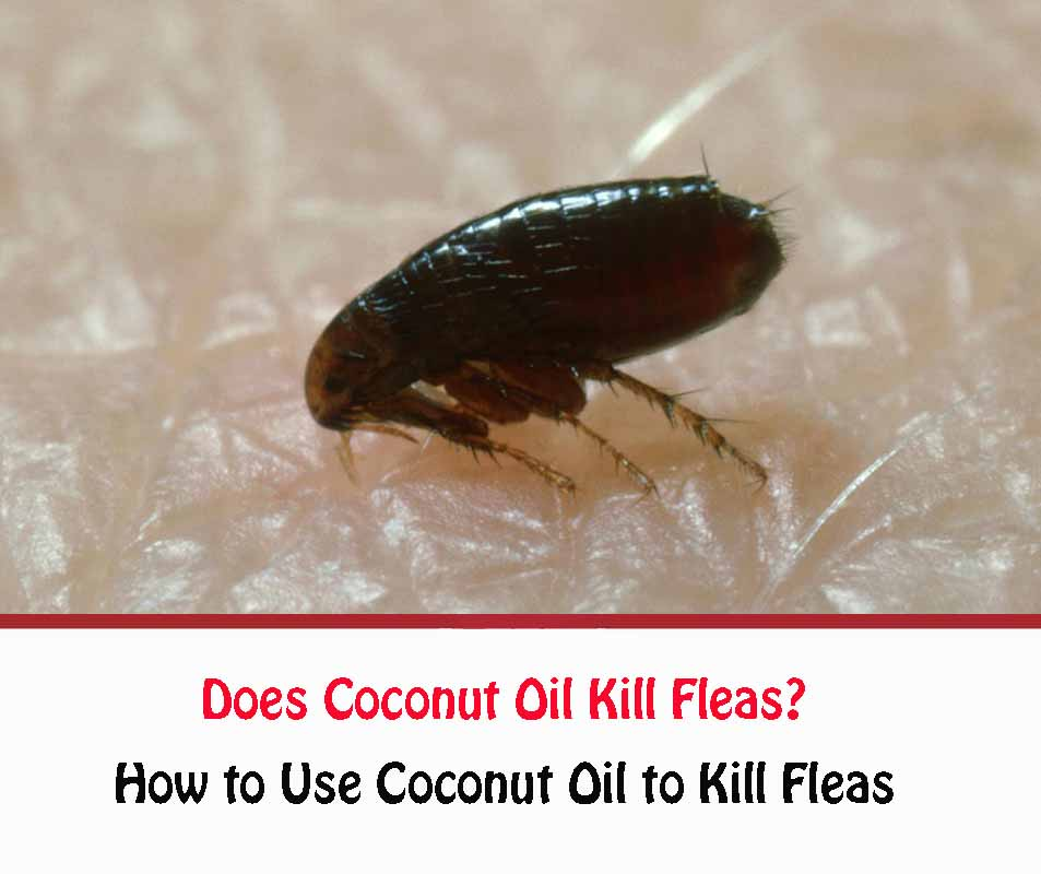 how to use coconut oil to kill fleas