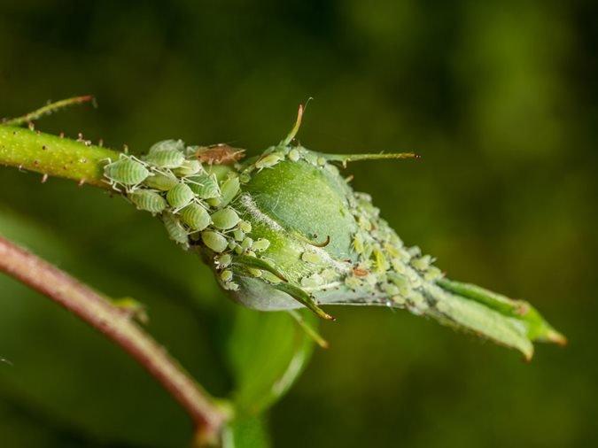 identify aphids