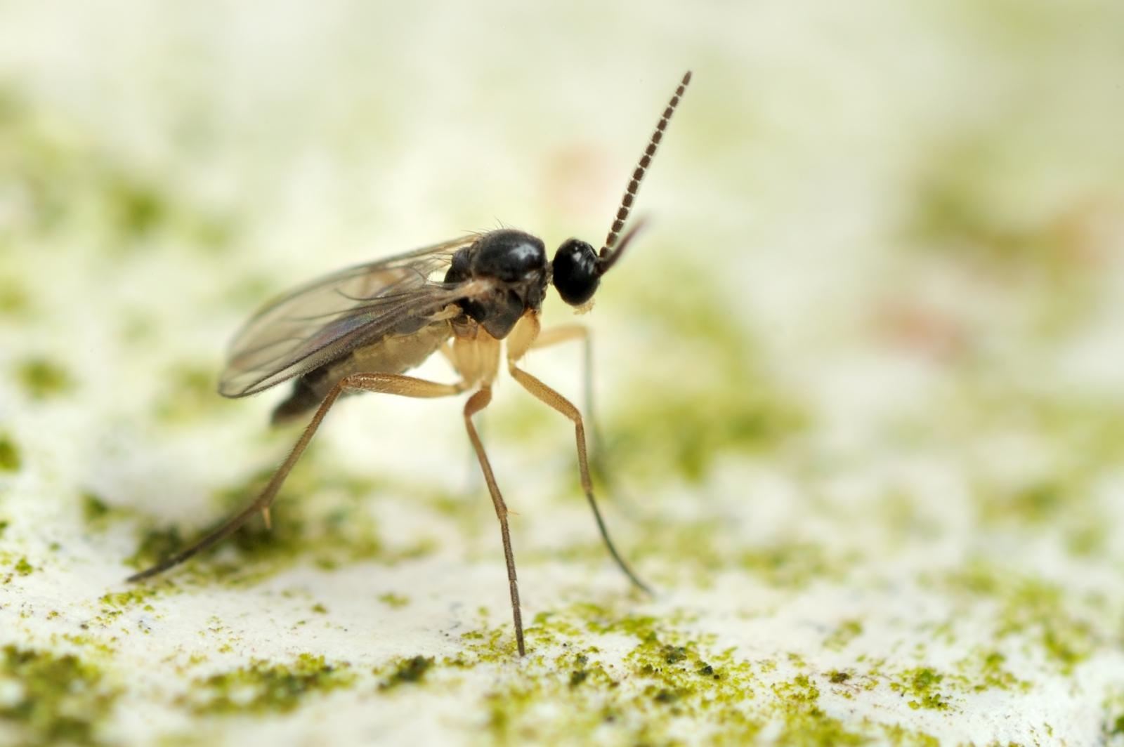 identify fungus gnat