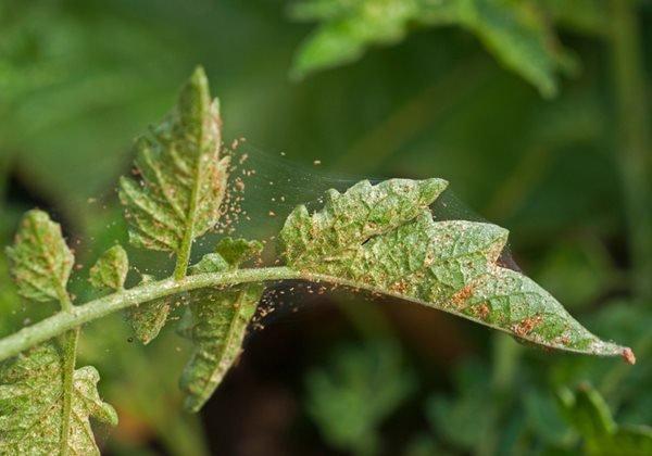 identify spider mites