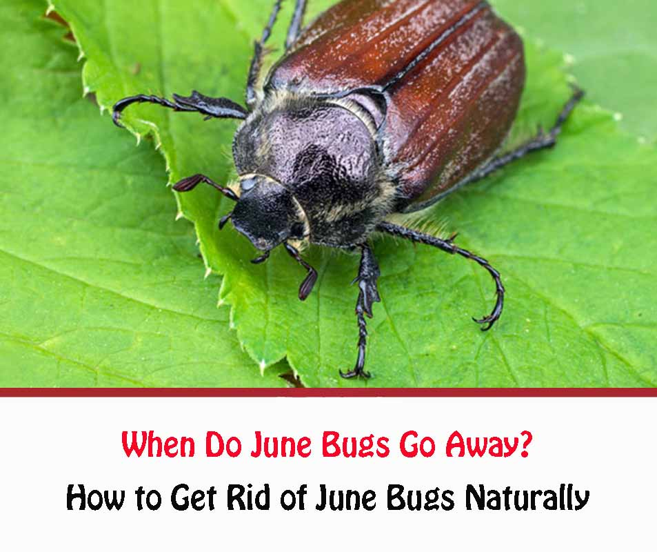 june bugs facts