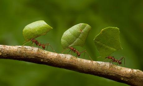 leaf cutter ants in long rows