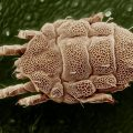 mold mite - Image By Bugwiz