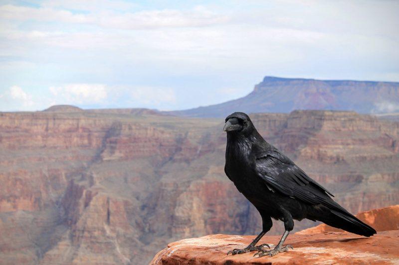 raven vs. crow