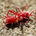 red spider mites - Image By nature-and-garden
