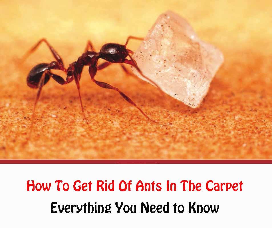 Ants In Carpet 2021