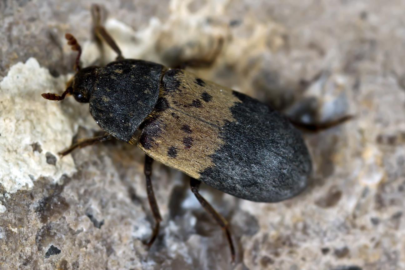 Are Larder Beetles harmful