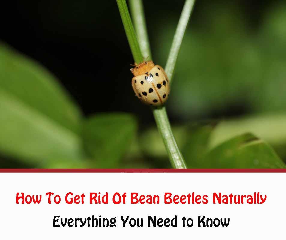 Bean Beetles 2021