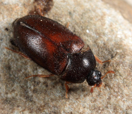 Black Carpet Beetle - Image By bugguide