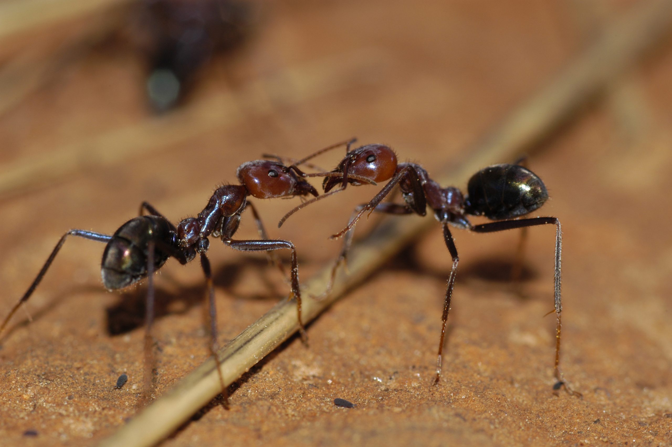 Can Ants Harm Your Health - Image By blog csiro