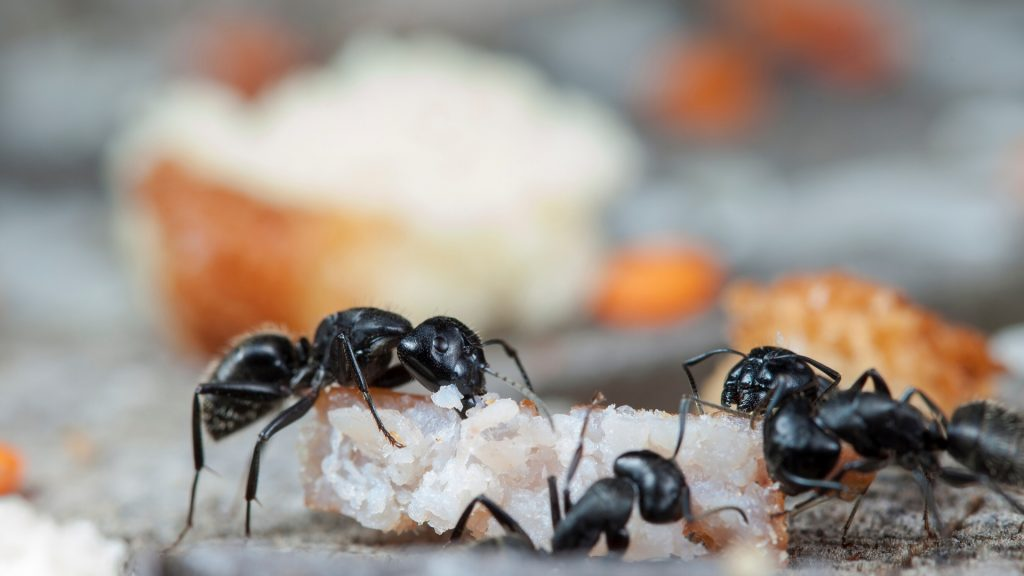 Can Ants Live On Carpet - Image By pestsamurai