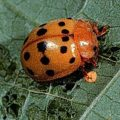 Can Bean Beetles Fly