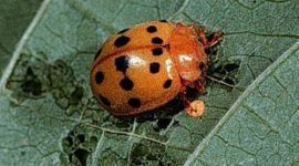 How To Get Rid Of Bean Beetles Naturally