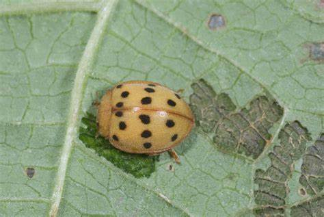 Do Bean Beetles Bite?