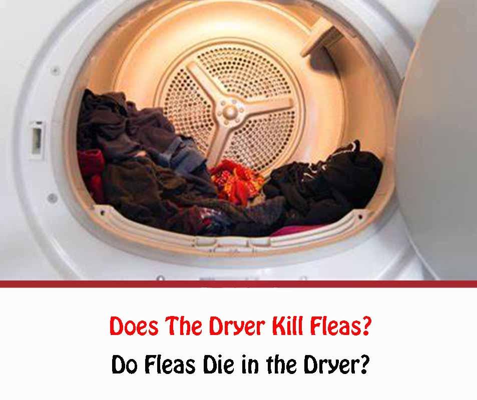 Do Fleas Die in the Dryer