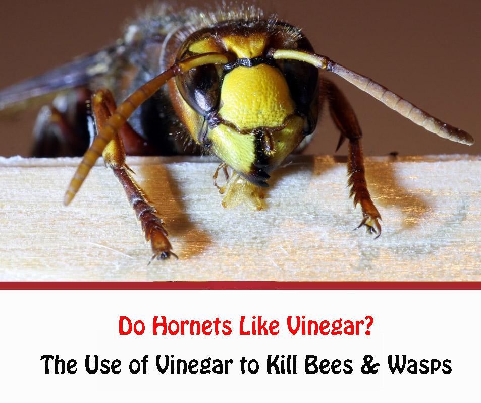 Do Hornets Like Vinegar 2021