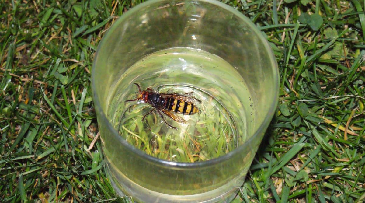 Do Hornets Like Vinegar - Image By gopests