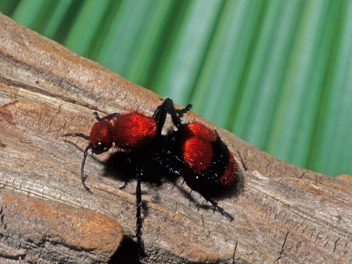 Do Red Velvet Ants Fly - Image By pestworld