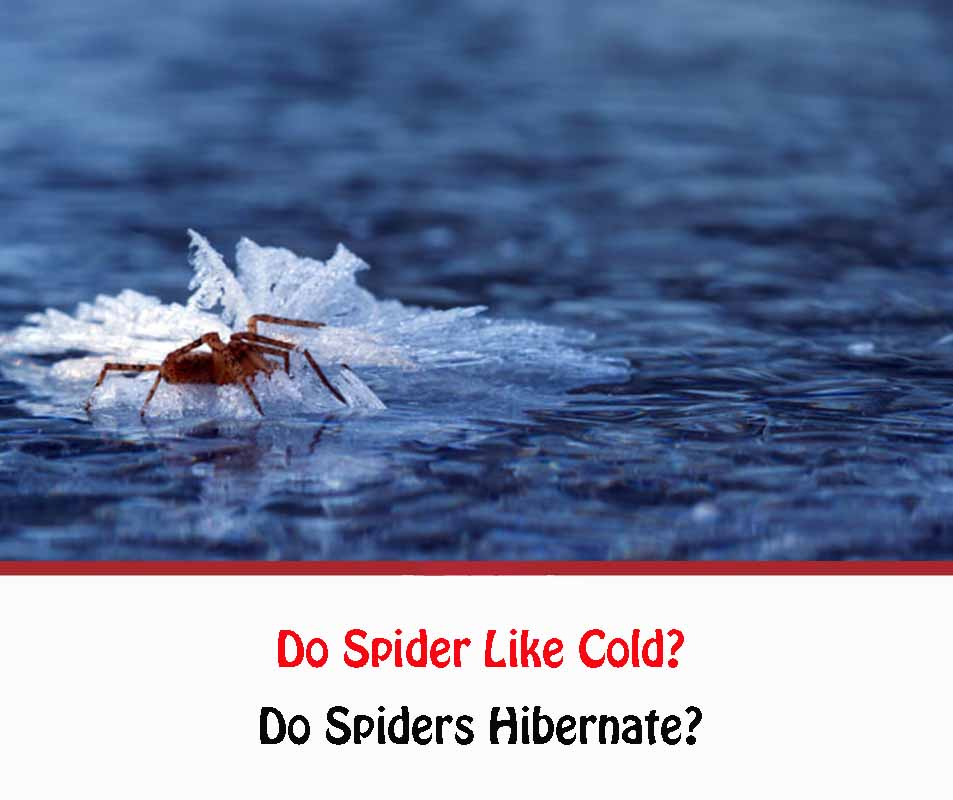 Do Spiders like cold?