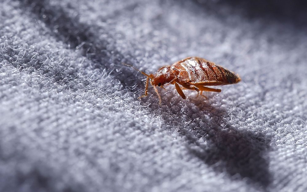 Do Tiny Black Bugs On Bed Sheets Bite - Image By How thehealthy