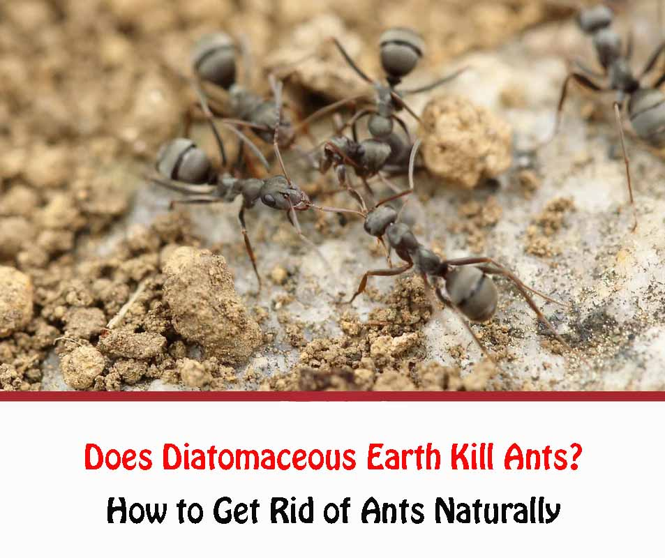 Does Diatomaceous Earth Kill Ants 2021