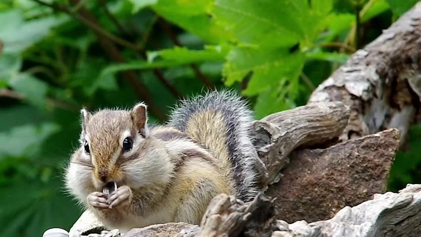 Does Vinegar Keep Chipmunks Away - Image By Shutterstock