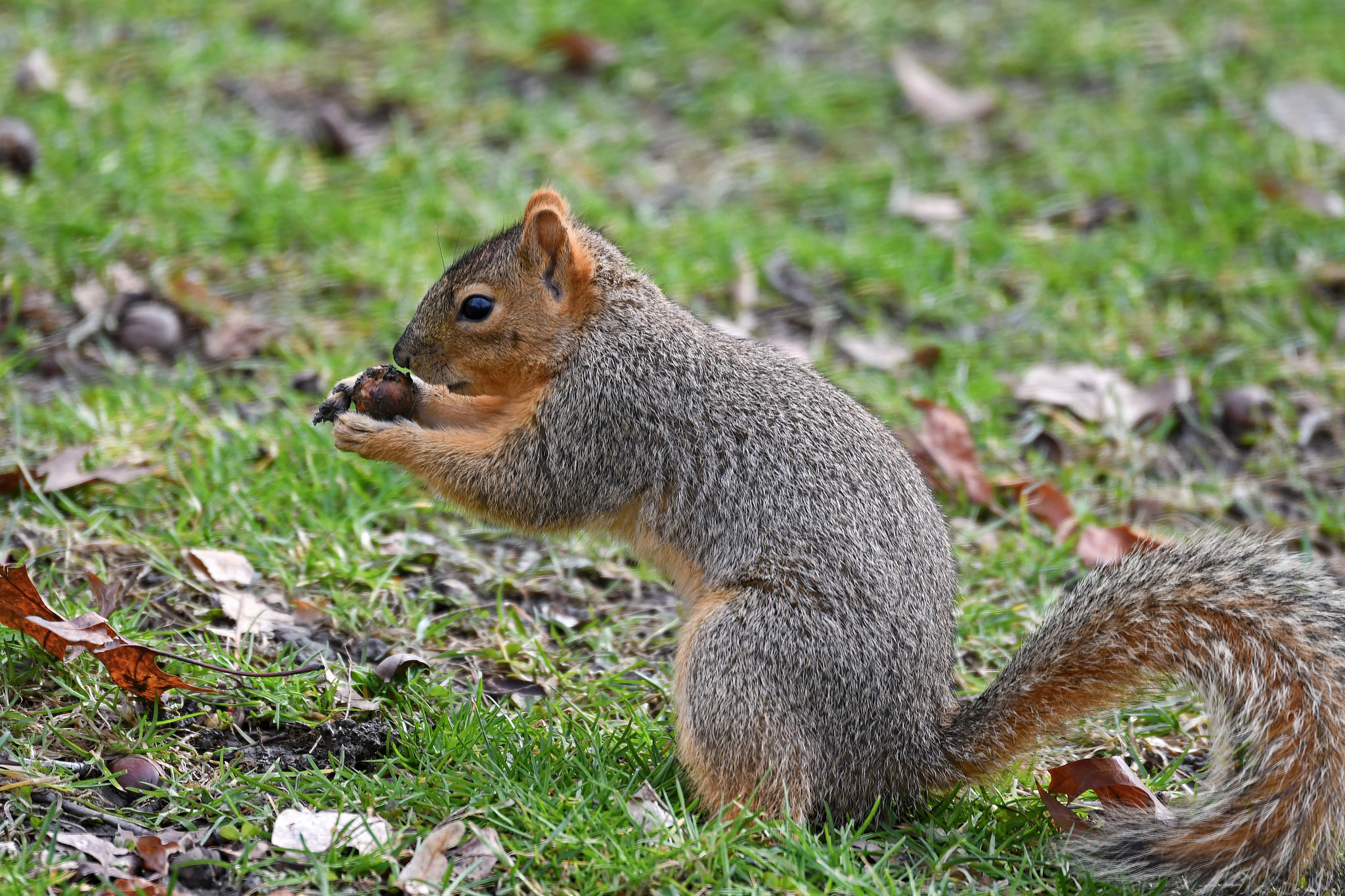 Eastern squirrel - Image By wildtexas