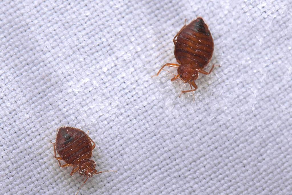 How Do You Get Bed Bug Bites