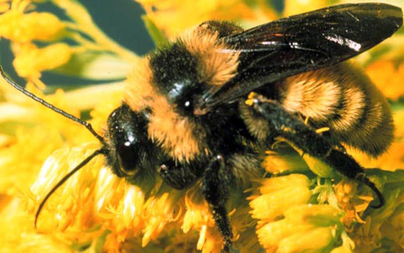 How To Deal With A Bumblebee Sting