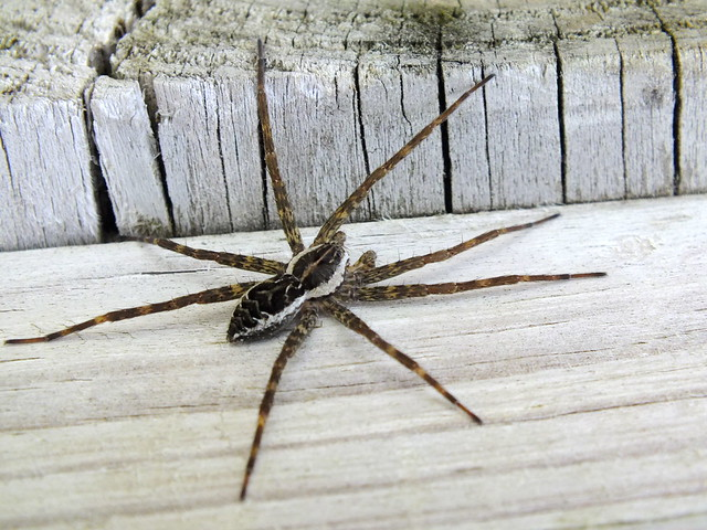 How To Eliminate Dock Spiders Naturally - Image By Flickr