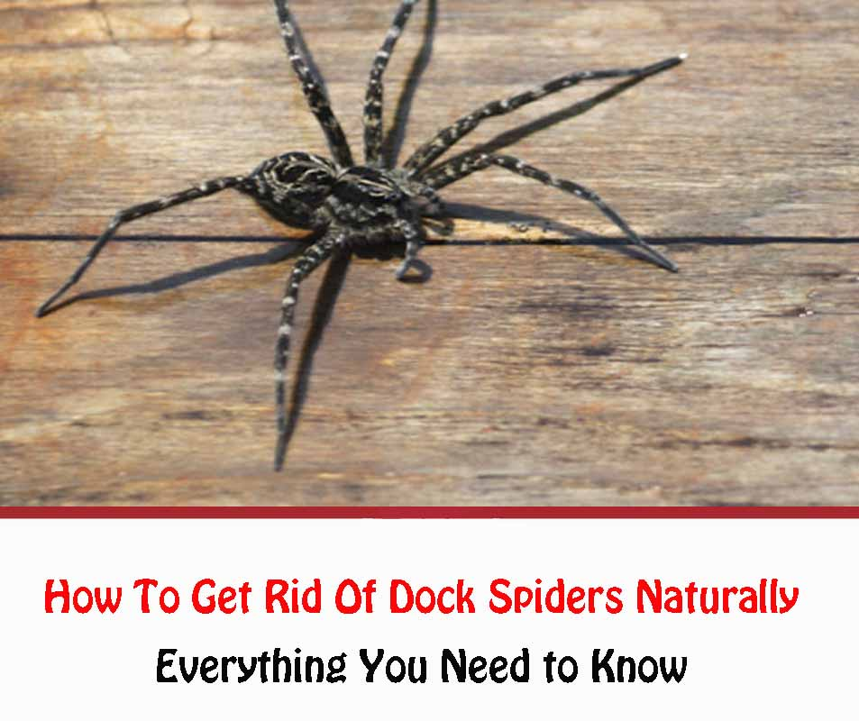 How To Get Rid Of Dock Spiders Naturally