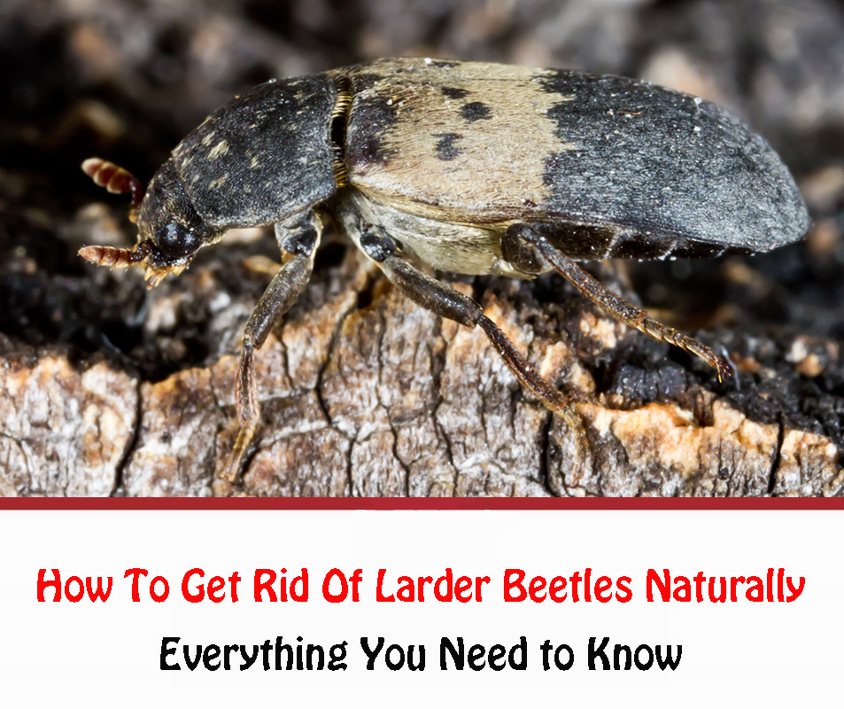 How To Get Rid Of Larder Beetles Naturally