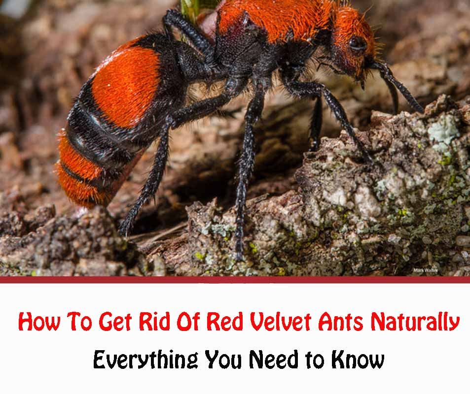 How To Get Rid Of Red Velvet Ants Naturally