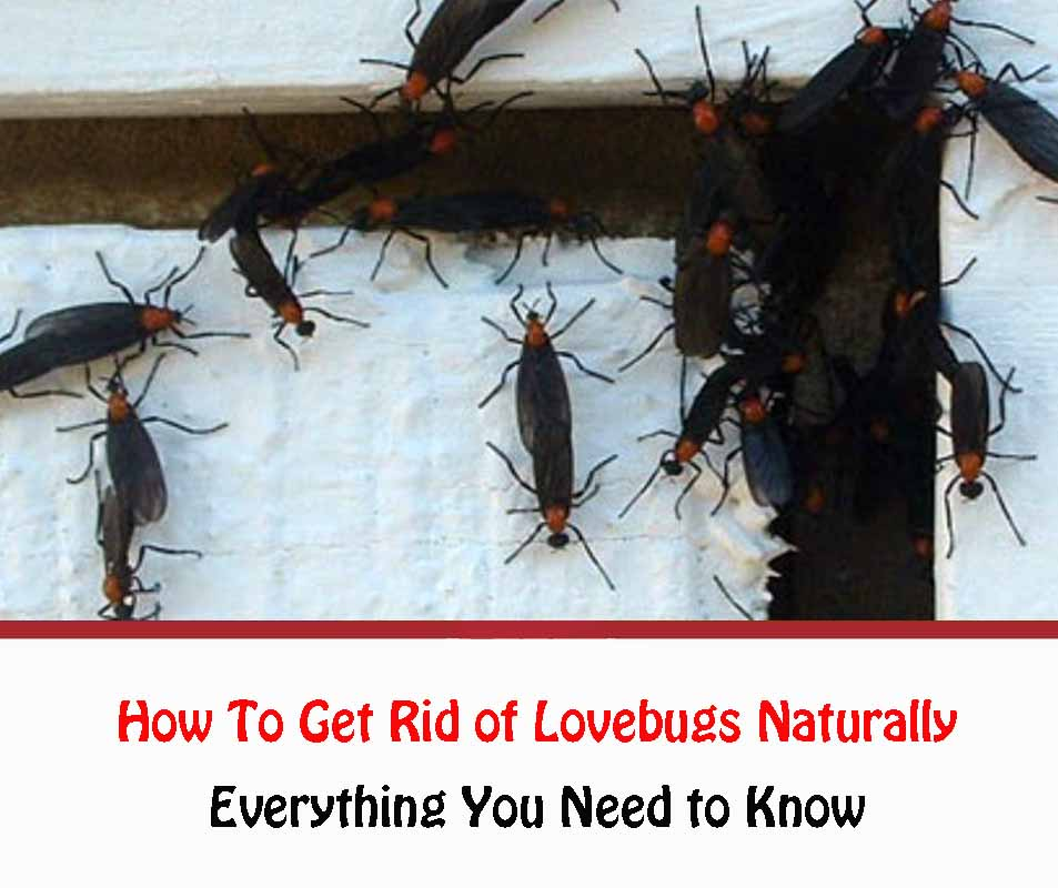 How To Get Rid of Lovebugs Naturally