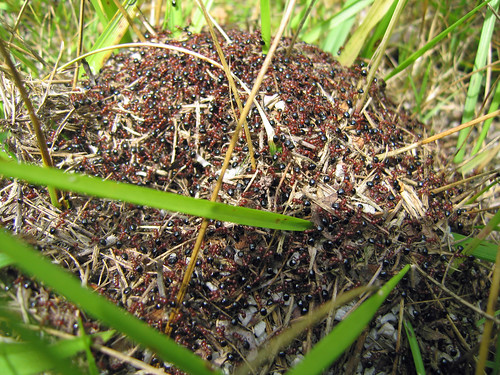 How To Identify Allegheny Mound Ants