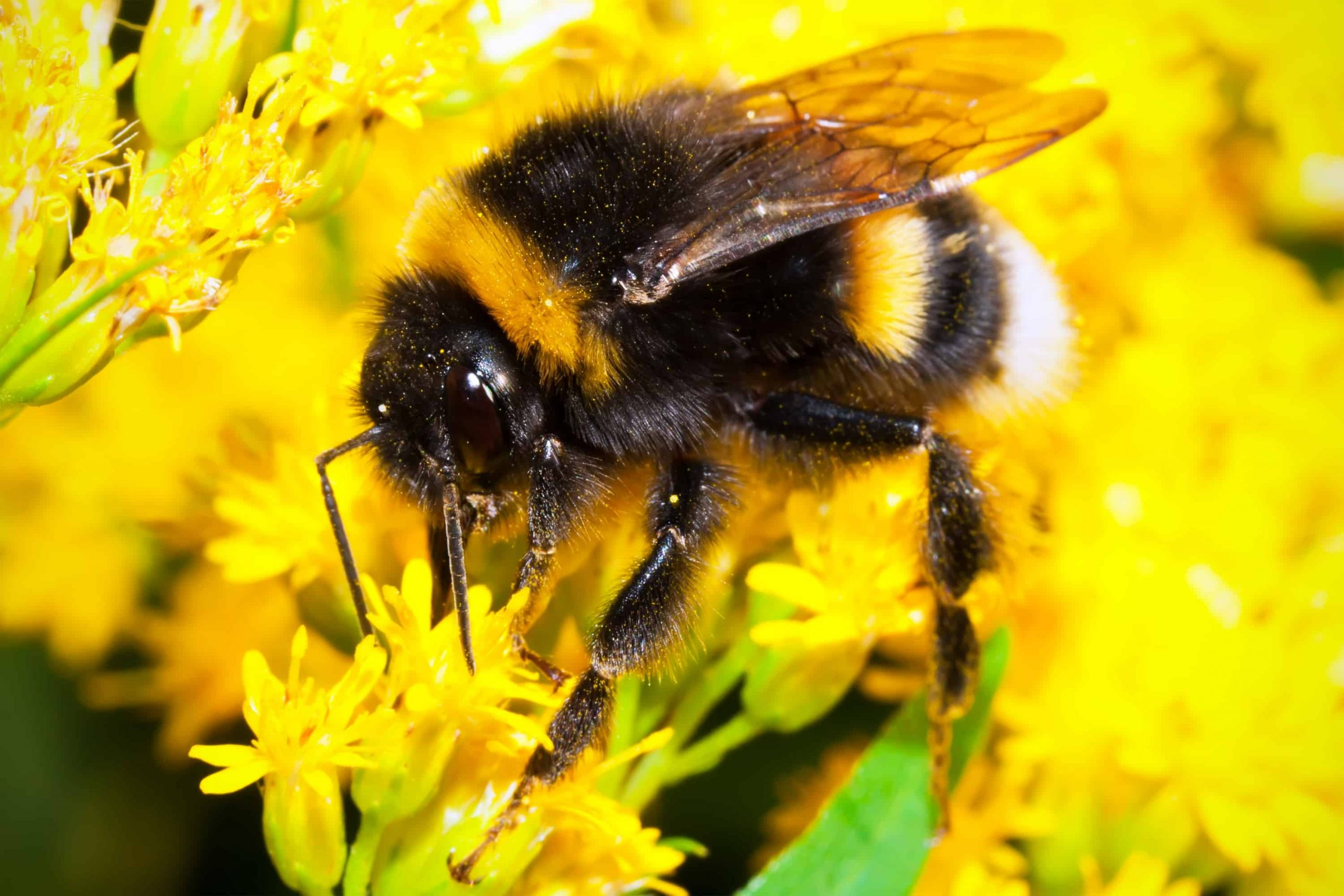 How To Identify Bumblebees