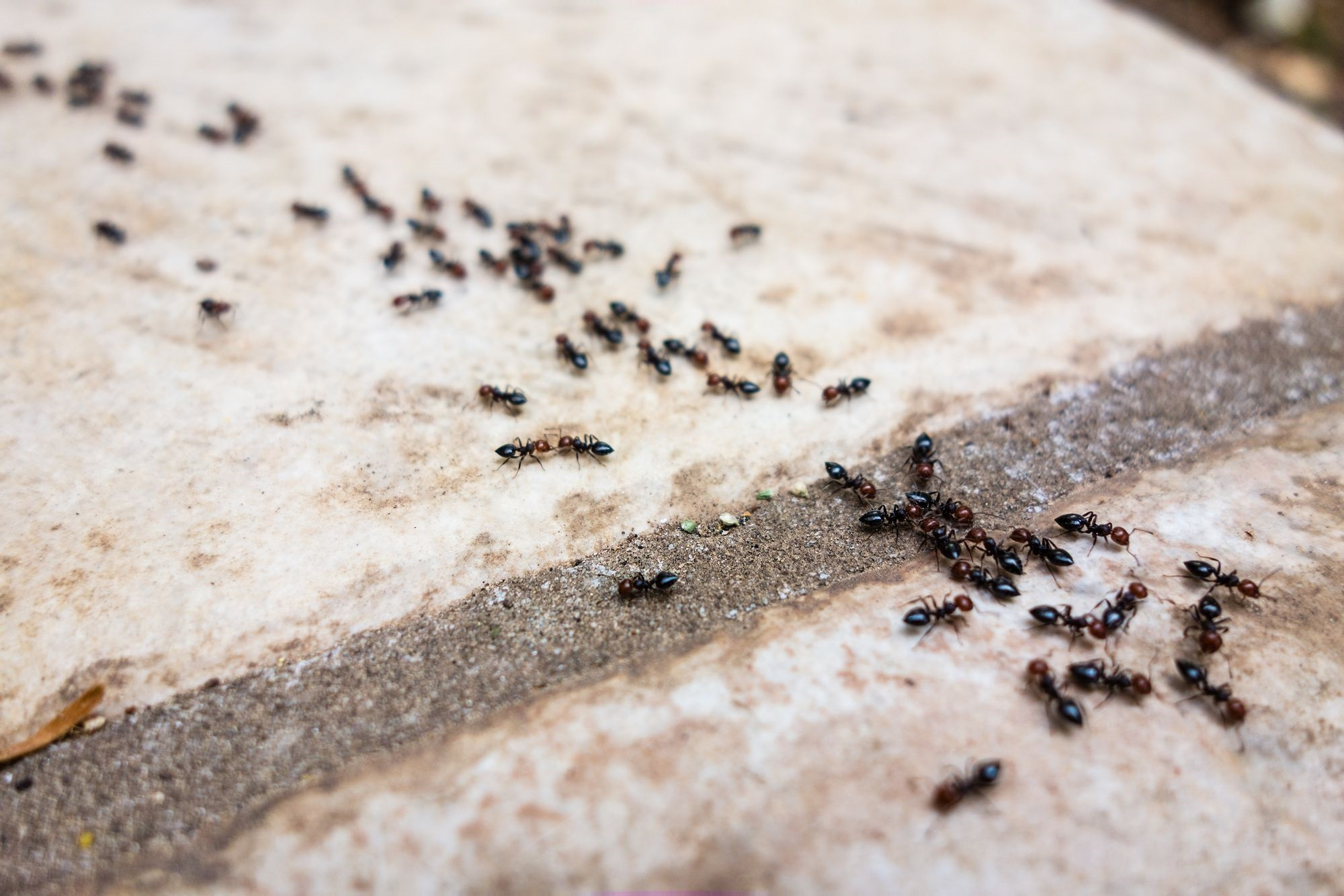How does diatomaceous earth kill ants - Image By buglord