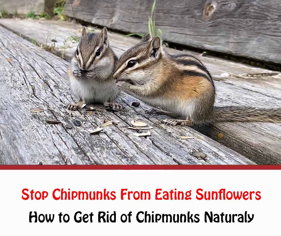 How to Get Rid of Chipmunks Naturaly