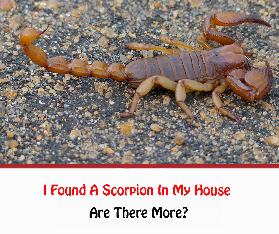 I Found A Scorpion In My House