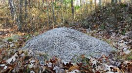 How To Get Rid Of Allegheny Mound Ants Naturally