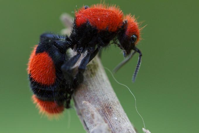 Red Velvet Ants 2021 - Image By texashillcountry