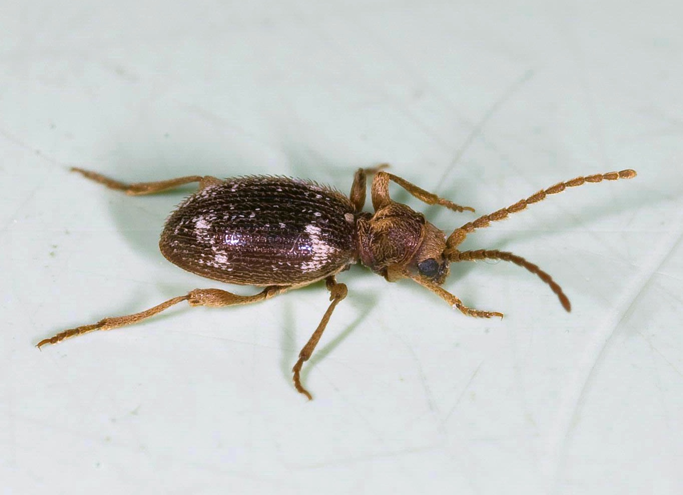 Spider Beetle - Image By orkin