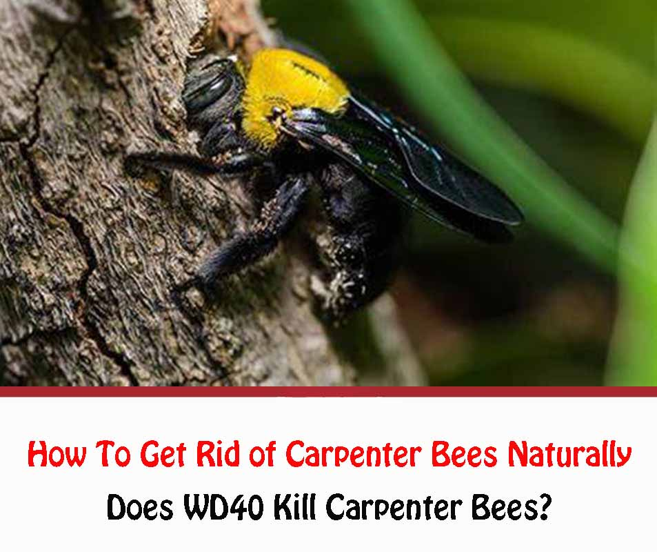 Use WD40 to Get Rid of Carpenter Bees