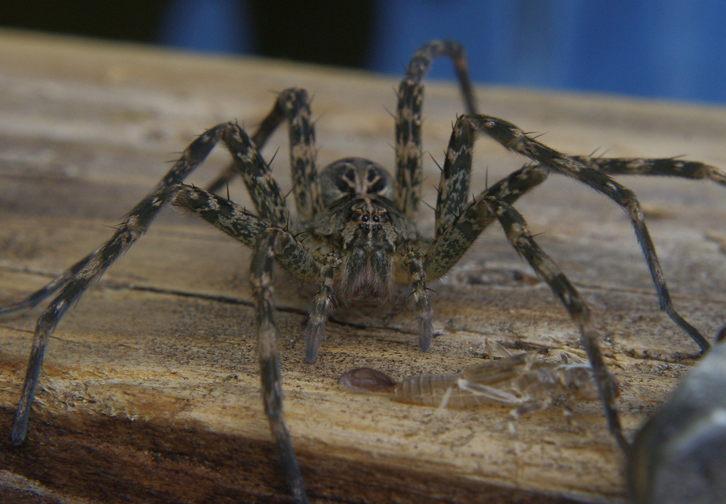 What Are Dock Spiders