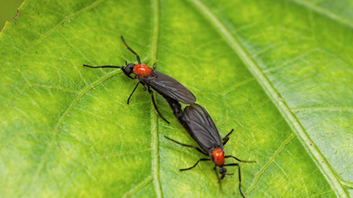 What Are Lovebugs - Image By WAPT